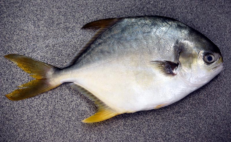 Friday food 94 snubnose pompano liuzhou laowai for Pompano fish good to eat