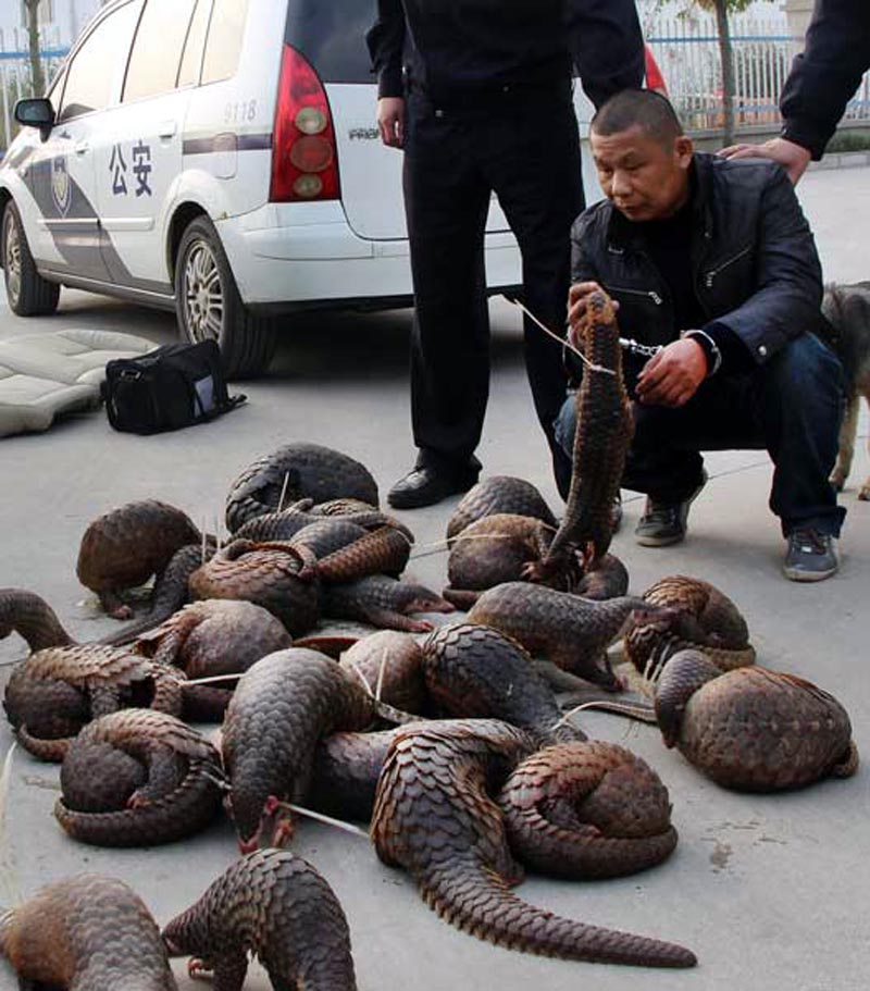 Apprehended smuggler with his stash of pangolins