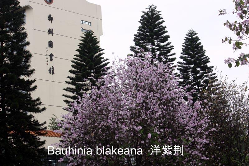 Bauhinia blakeana