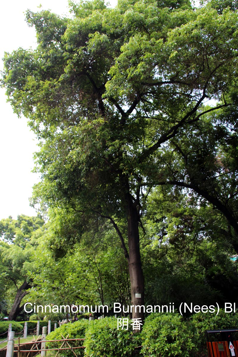 cinnamomum burmannii